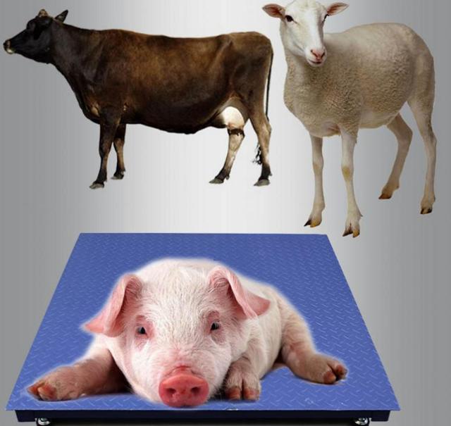 称猪小型地磅