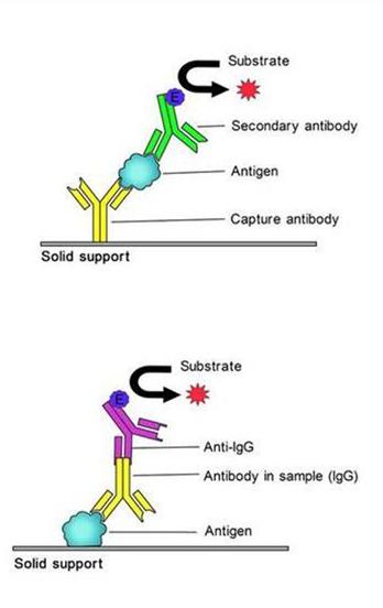 人基质金属蛋白酶9/明胶酶BMMPELISA试剂盒