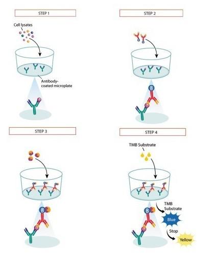 小鼠肿瘤坏死因子βTNF-βELISA试剂盒
